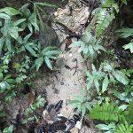 熱帯植物セラジネラ Selaginella sp.Setiu 現地画像