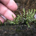 熱帯植物カリモドン Calymmodon sp.Setui 現地画像