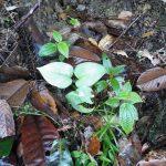 熱帯植物サトイモ科 Araceae Pasir Raja マレーシア