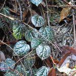 熱帯植物ピペル Piper porphyrophyllum Pasir Raja 現地画像