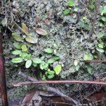 熱帯植物マルクグラビア Marcgravia sp.Pasir Raja 現地画像