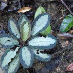 熱帯植物コドノボエア Codonoboea sp.Pasir Raja 現地画像