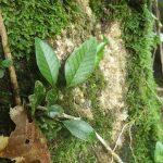熱帯植物セリゲア Selliguea sp.Kuala Berang 現地画像