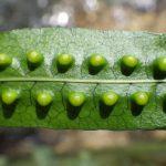 熱帯植物フィマトソラス Phymatosorus sp.Kuala Berang 現地画像