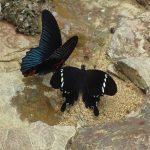 熱帯植物蝶 マレーシアの美しいチョウ 野生写真