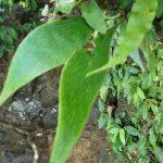 熱帯植物タキミシダ Antrophyum sp.Tasik Kenyi 現地画像