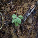 熱帯植物斑入りの何か Variegata Tasik Kenyir 現地画像