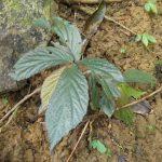 熱帯植物ベゴニア Begonia sp.Tasik Kenyir 現地画像
