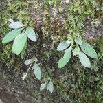 熱帯植物キリタ Chirita sp.Tasik Kenyir 現地画像