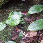 熱帯植物セリゲア Selliguea sp.Tasik Kenyir 現地画像
