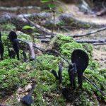 熱帯植物黒いキノコ 魔人族の雑魚キャラ的な姿 現地画像