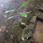 熱帯植物ミルメコディア Myrmecodia sp.Tasik Kenyir 現地画像