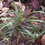 熱帯植物ツルアダン Freycinetia sp.Tasik Kenyir 現地画像