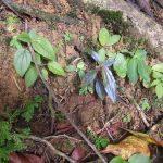 熱帯植物ノボタン Melastomataceae gen.Tasik Kenyir 現地画像