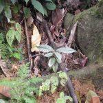 熱帯植物全銀草 Unknown Pasir Raja 現地画像