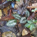 熱帯植物スカフォクロミス Scaphochlamys sp.Setiu 現地画像