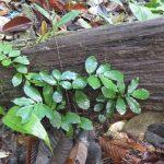 熱帯植物エラトステマ Elatostema sp.Setiu 現地画像