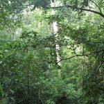 熱帯植物マレー半島 東海岸の町Setuiの森 熱帯雨林