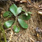 熱帯植物アクロトレマ コスタタム Acrotrema costatum Jeteh 現地画像