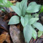 熱帯植物ホマロメナ Homalomena sp.Jerteh 現地画像