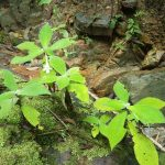 熱帯植物マレー半島 車でドライブ Hulu Besut