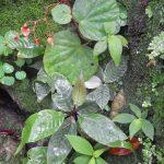 熱帯植物テクタリア Tectaria singaporeana Selangor 育て方