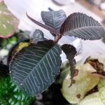 熱帯植物 アルディシア Ardisia sp.Perlis Malaysia 育て方