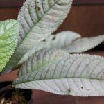熱帯植物コドノボエア Codonoboea sp.Pulau Lingga Kn便 画像