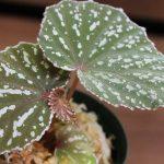 熱帯植物ベゴニア Begonia sp.Matang TK便 育て方