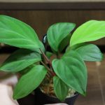 熱帯植物ホマロマナ Homalomena sp.Ranau TK便 画像