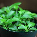 熱帯植物ホマロメナ Homalomena sp.Cameron Highlands wf1 実生苗