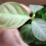 熱帯植物アルディシア Ardisia sp.Matang TK便 画像
