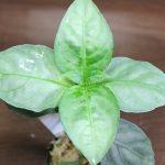 熱帯植物銀葉 Unknown Tasik Kenyir マレーシアの植物