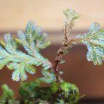 熱帯植物セラジネラ Selaginella willdenowii 育て方