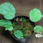熱帯植物 ベゴニア Begonia sp.Kuala Balah TK便 育て方