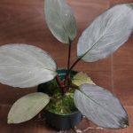 熱帯植物ホマロメナ Homalomena sp. Pink Velvet Kepulauan Riau Kn便