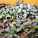 熱帯植物 容器内栽培の方法