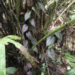 熱帯植物ピペル Piper sp.Jeli 現地画像