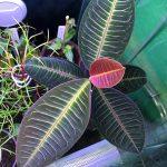 熱帯植物 ラビシア Labisia sp.Riau sumatera
