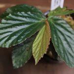 熱帯植物 ベゴニア Begonia sp.Sumpur TK便