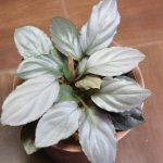 熱帯植物 ホマロメナ Homalomena sp.赤銀 West Java