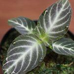 熱帯植物 イワタバコの一種 西カリマンタン産