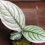 熱帯植物 アルディシア Ardisia sp.Madagui Vietnam