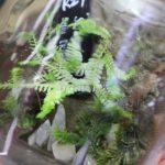 熱帯植物 セラジネラ Selaginella sp.Setiu 白