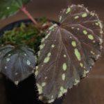 熱帯植物 ベゴニア Begonia beccarii Bau Sarawak