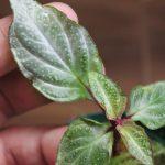 熱帯植物 ソネリラ Sonerilla pulchella Payakumbuh sumatera LA便