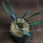 熱帯植物 ホマロメナ Homalomena sp.東カリマンタン州 出射氏便