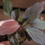 熱帯植物 ホマロメナ Homalomena sp.Pulau Sumatera 赤