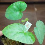 熱帯植物 ベゴニア Begonia variabilis Dabong TK便