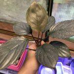 """熱帯植物 ホマロメナ Homalomena sp.""""Aluminium"""" Kota Payakumbuh Sumatera Barat"""